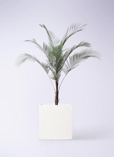 観葉植物 ヒメココス 8号 バスク キューブ 付き