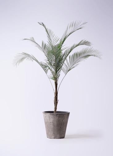 観葉植物 ヒメココス 8号 フォリオソリッド ブラックウォッシュ 付き