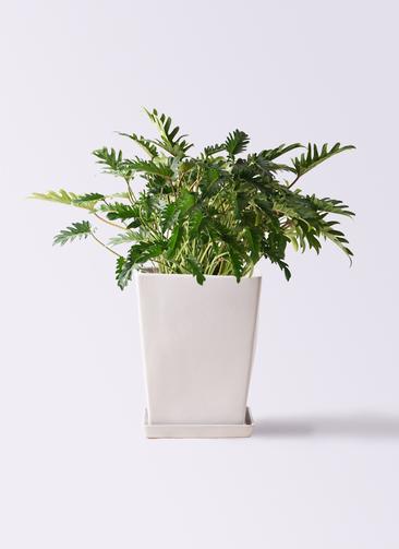 観葉植物 クッカバラ 7号 LO スクエア 付き