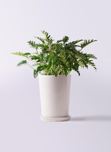観葉植物 クッカバラ 7号 LO ラウンド 付き