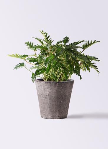 観葉植物 クッカバラ 7号 フォリオソリッド ブラックウォッシュ 付き