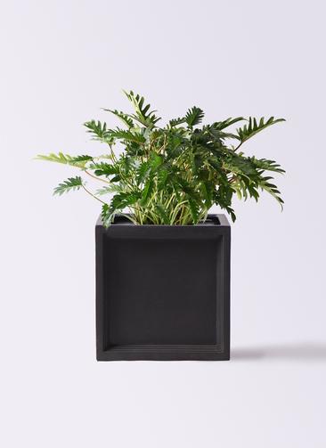 観葉植物 クッカバラ 7号 ブリティッシュキューブ 付き