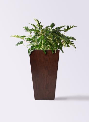 観葉植物 クッカバラ 7号 MOKU スクエア 付き