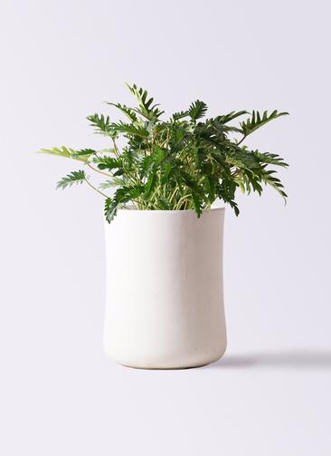 観葉植物 クッカバラ 7号 バスク ミドル ホワイト 付き