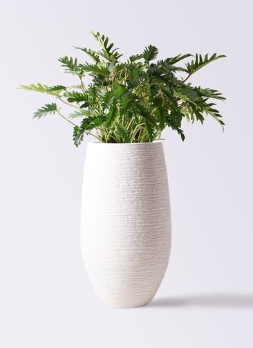観葉植物 クッカバラ 7号 フォンティーヌトール 白 付き