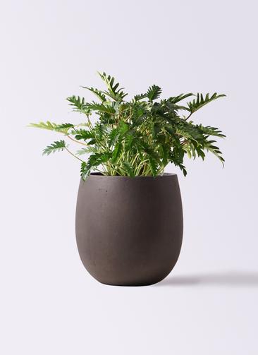観葉植物 クッカバラ 7号 テラニアス バルーン アンティークブラウン 付き