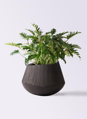 観葉植物 クッカバラ 7号 エディラウンド 黒 付き
