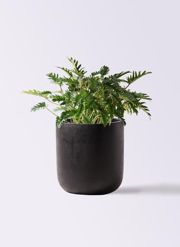 観葉植物 クッカバラ 7号 エルバ 黒 付き