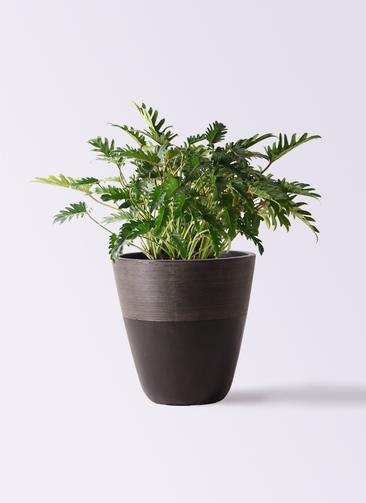 観葉植物 クッカバラ 7号 ジュピター 黒 付き