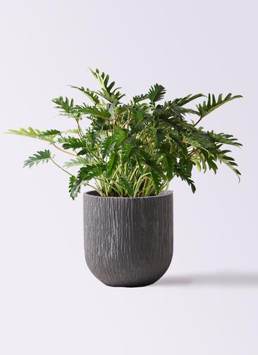 観葉植物 クッカバラ 7号 カルディナダークグレイ 付き