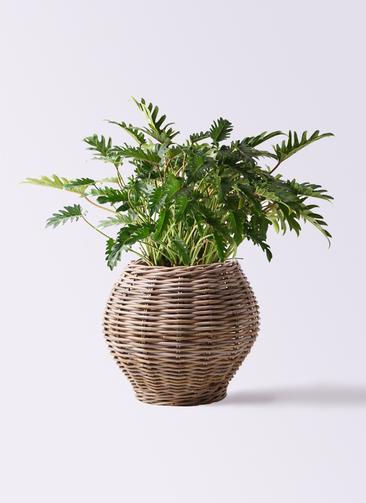 観葉植物 クッカバラ 7号 グレイラタン 付き