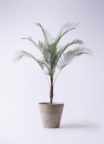 観葉植物 ヒメココス 8号 アートストーン ラウンド グレー 付き