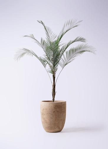観葉植物 ヒメココス 8号 ルーガ アンティコ アルトエッグ 付き