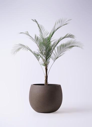 観葉植物 ヒメココス 8号 テラニアス ローバルーン アンティークブラウン 付き