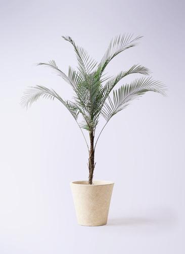 観葉植物 ヒメココス 8号 フォリオソリッド クリーム 付き