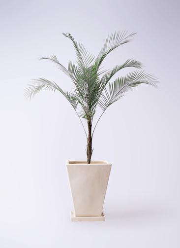 観葉植物 ヒメココス 8号 スクエアハット 白 付き