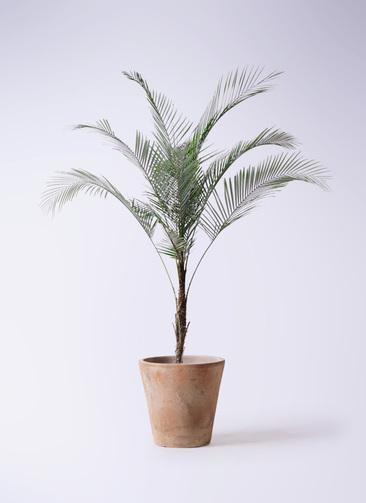 観葉植物 ヒメココス 8号 ルーガ アンティコ ソリッド 付き