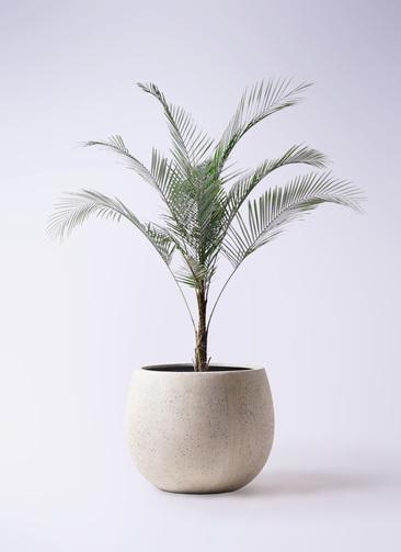 観葉植物 ヒメココス 8号 テラニアス ローバルーン アンティークホワイト 付き
