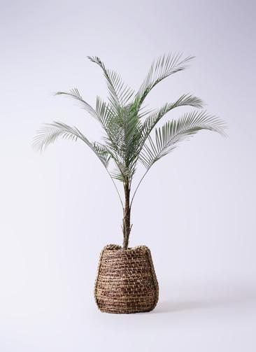 観葉植物 ヒメココス 8号 リゲル 茶 付き