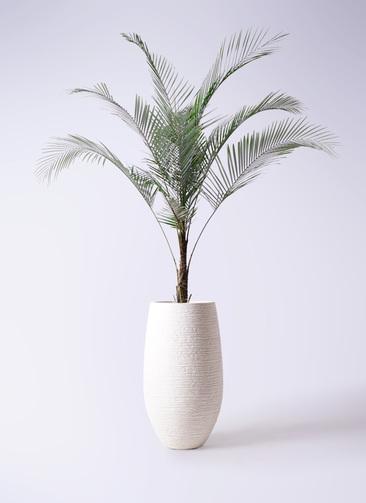 観葉植物 ヒメココス 8号 フォンティーヌトール 白 付き