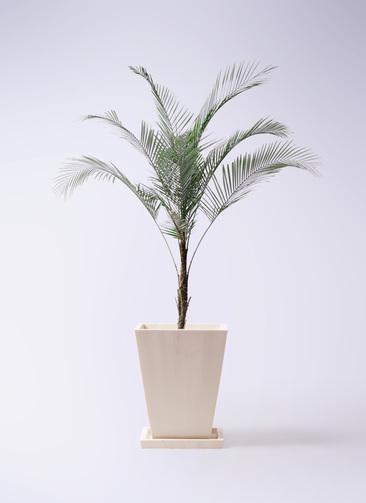 観葉植物 ヒメココス 8号 パウダーストーン 白 付き