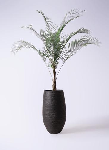 観葉植物 ヒメココス 8号 フォンティーヌトール 黒 付き