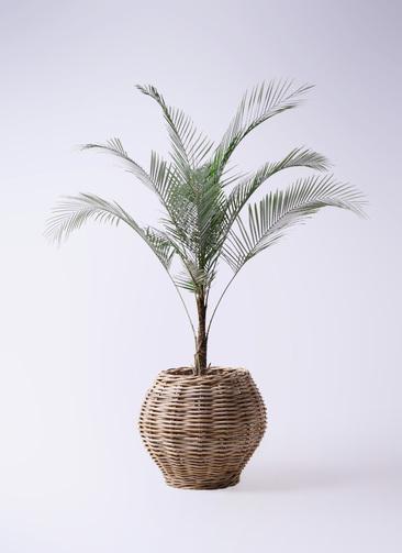 観葉植物 ヒメココス 8号 グレイラタン 付き
