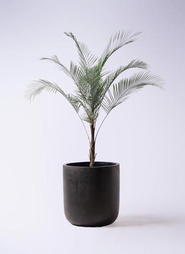 観葉植物 ヒメココス 8号 エルバ 黒 付き