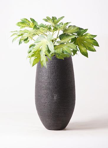 観葉植物 ヤツデ 7号 フォンティーヌトール 黒 付き