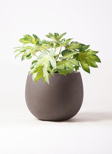 観葉植物 ヤツデ 7号 テラニアス ローバルーン アンティークブラウン 付き