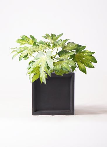 観葉植物 ヤツデ 7号 ブリティッシュキューブ 付き
