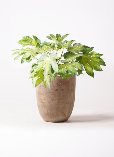 観葉植物 ヤツデ 7号 ルーガ アンティコ アルトエッグ 付き