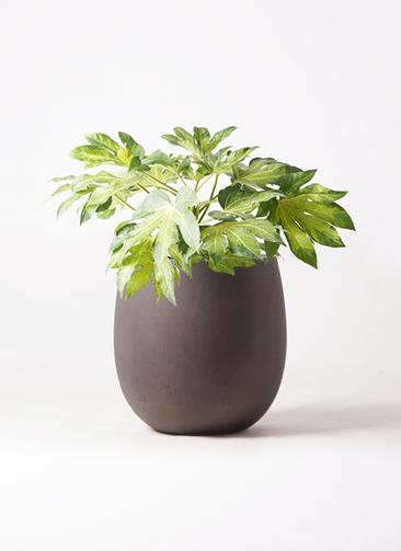 観葉植物 ヤツデ 7号 テラニアス バルーン アンティークブラウン 付き