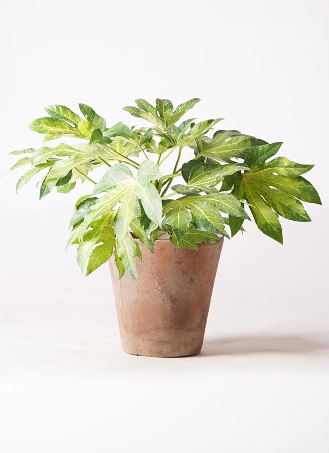 観葉植物 ヤツデ 7号 ルーガ アンティコ ソリッド 付き