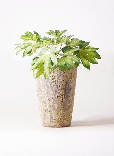 観葉植物 ヤツデ 7号 アトランティス クルーシブル 付き