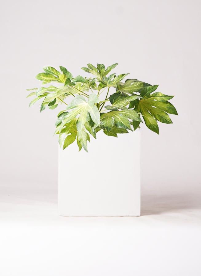観葉植物 ヤツデ 7号 バスク キューブ 付き