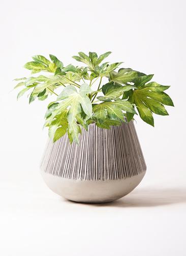 観葉植物 ヤツデ 7号 エディラウンド グレイ 付き