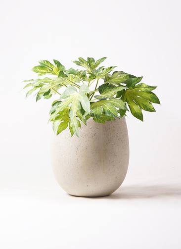 観葉植物 ヤツデ 7号 テラニアス バルーン アンティークホワイト 付き