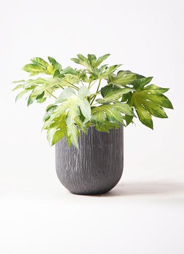 観葉植物 ヤツデ 7号 カルディナダークグレイ 付き