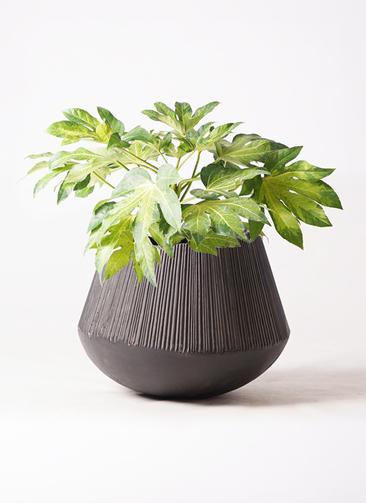 観葉植物 ヤツデ 7号 エディラウンド 黒 付き