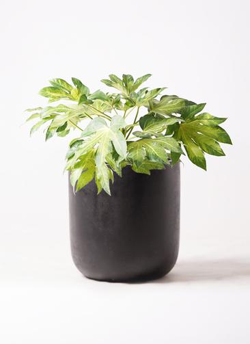 観葉植物 ヤツデ 7号 エルバ 黒 付き