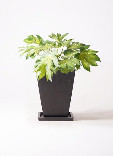 観葉植物 ヤツデ 7号 パウダーストーン 黒 付き