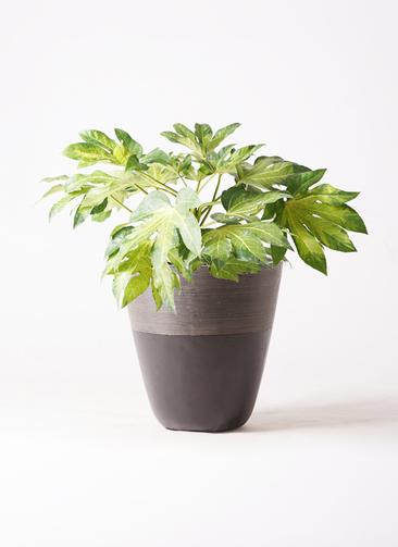 観葉植物 ヤツデ 7号 ジュピター 黒 付き
