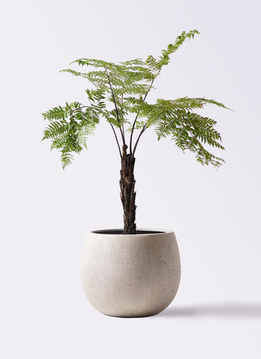観葉植物 ヘゴ 8号 テラニアス ローバルーン アンティークホワイト 付き