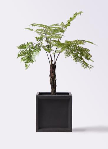 観葉植物 ヘゴ 8号 ブリティッシュキューブ 付き
