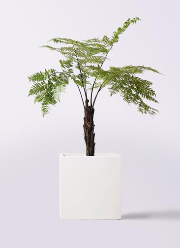 観葉植物 ヘゴ 8号 バスク キューブ 付き