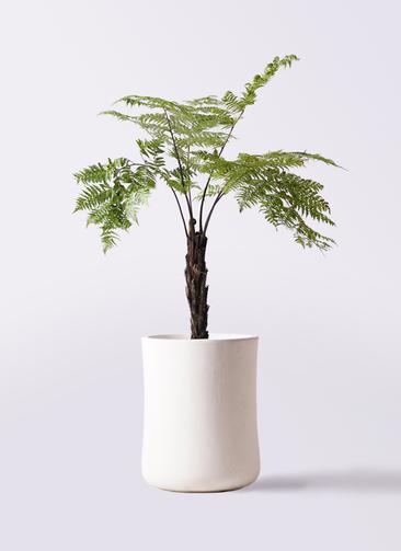 観葉植物 ヘゴ 8号 バスク ミドル ホワイト 付き
