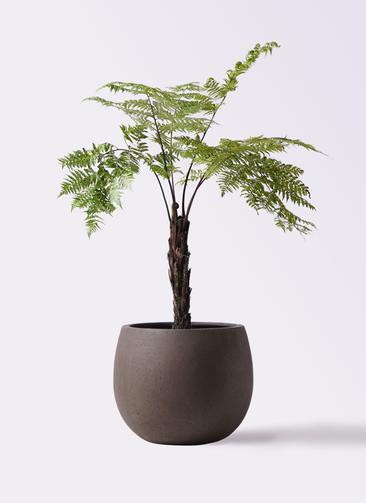 観葉植物 ヘゴ 8号 テラニアス ローバルーン アンティークブラウン 付き