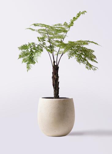 観葉植物 ヘゴ 8号 テラニアス バルーン アンティークホワイト 付き