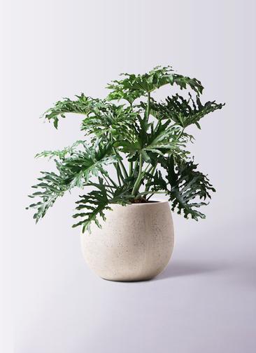 観葉植物 セローム ヒトデカズラ 8号 ボサ造り テラニアス ローバルーン アンティークホワイト 付き